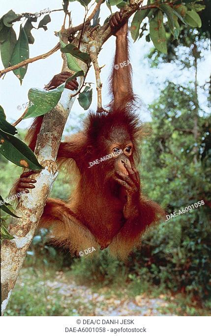 Zoology - Mammals - Primates - Bornean orangutan (Pongo pygmaeus) - Indonesia, Borneo, Central Kalimantan (Kalimantan Tengah), Tanjung Puting National Park