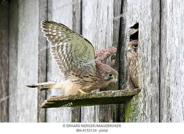 Young Common Kestrels (Falco tinnunculus), Emsland, Lower Saxony, Germany