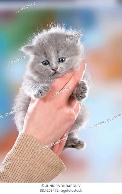 British Longhair. Kitten held by hands. Germany