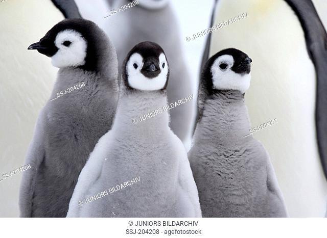 Emperor Penguin (Aptenodytes forsteri). Trio of chicks, portrait. Snow Hill Island, Antarctica