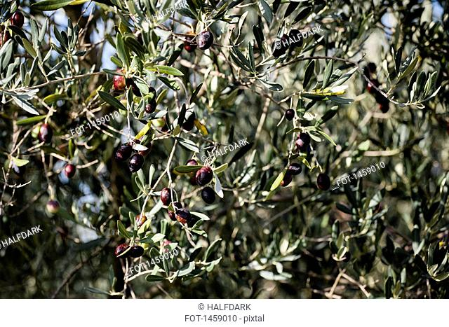 Full frame shot of black olives on tree