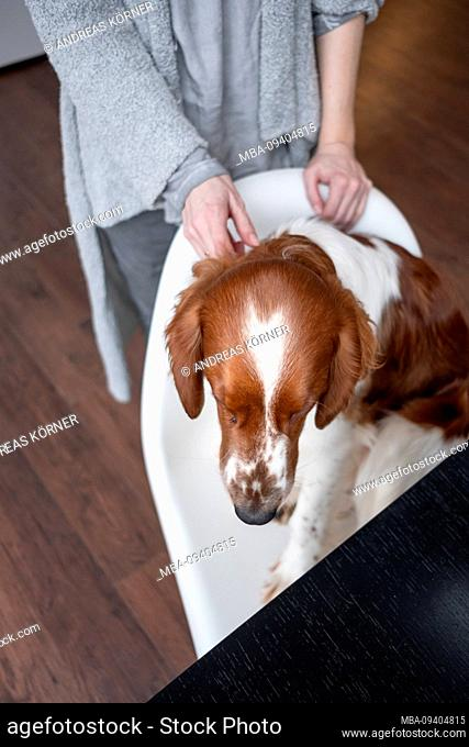 Dog, Irish red and white setter sitting on stool and being cuddled by woman