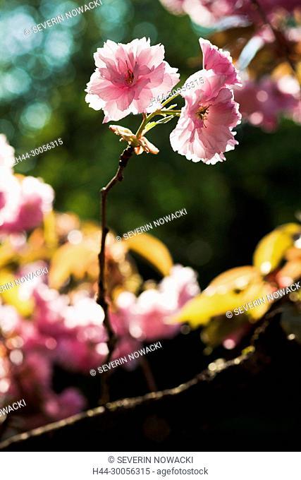 Kirschblueten, Kirschbaum, Blueten, Schweiz