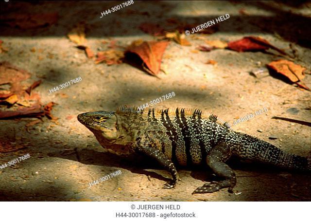 Costa Rica, Maunel Antonio Nationalpark, Leguan