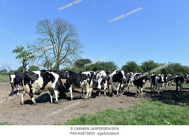 Cows have gathered in front of a trough on a pasture inThedinghausen, Germany, 03 August 2015. Many farms in the German state Lower Saxony tend to the...
