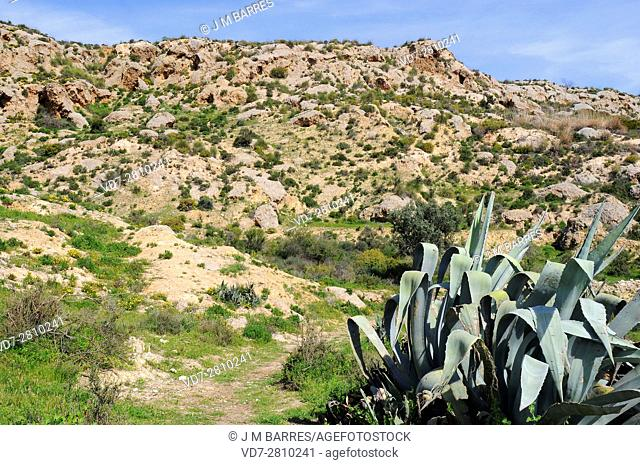 Gypsum karst in Sorbas Natural Park, Almeria, Andalusia, Spain. On the right maguey, sentry plant or American aloe (Agave americana)