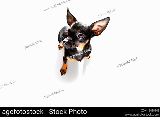 curious prague ratter or rattler dog looking up to owner waiting or sitting patient to play or go for a walk, isolated on white background