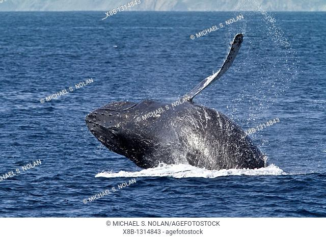 Humpback whale Megaptera novaeangliae breaching on the Pacific side of Isla Magdalena, Baja California Sur, Mexico  MORE INFO Each winter hundreds of humpback...