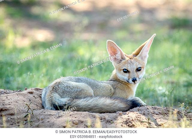 Cape fox laying down in the sand in the Kalagadi Transfrontier Park, South Africa
