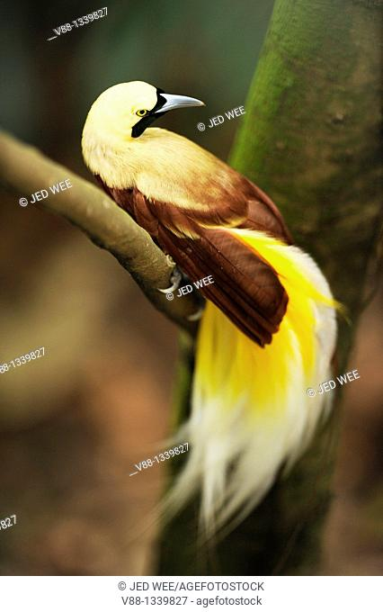 Lesser Bird-of-paradise (Paradisaea minor), Jurong Bird Park, Singapore