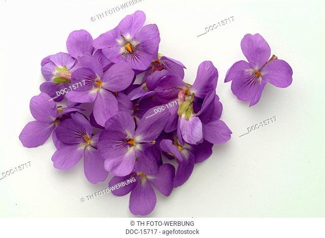 Violet - herb - medicinal plant - spice - Viola odorata - Viola mammola
