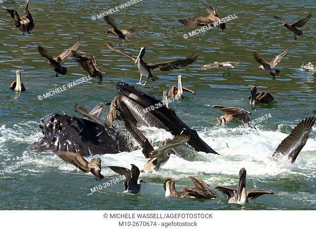 Lunge feeding Humpback Whale along with California Brown Pelicans in Avila Beach, California