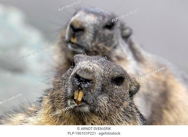 Close-up of Alpine marmot (Marmota marmota) couple showing large sharp incisors / front teeth