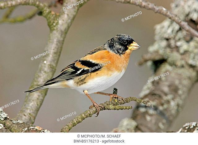 brambling (Fringilla montifringilla), sitting on a twig, Germany