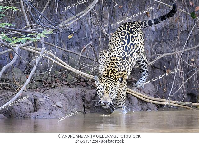 Jaguar (Panthera onca) climbing down from riverbank in water, looking at camera, Pantanal, Mato Grosso, Brazil