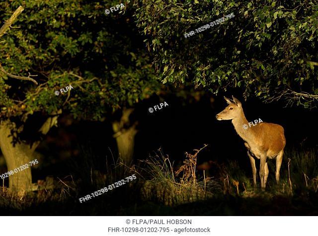 Red Deer (Cervus elaphus) hind, standing in woodland, Bradgate Park, Leicestershire, England, October