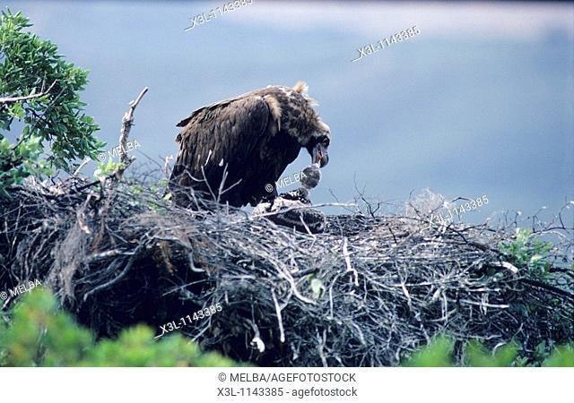 Aegypius monachus Nest of Cinereous vulture European bird