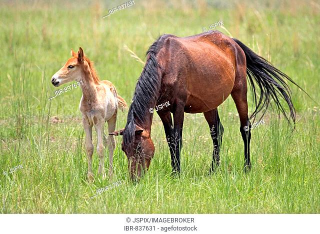 Horse (Equus), adult, female with foal, South Africa, Africa