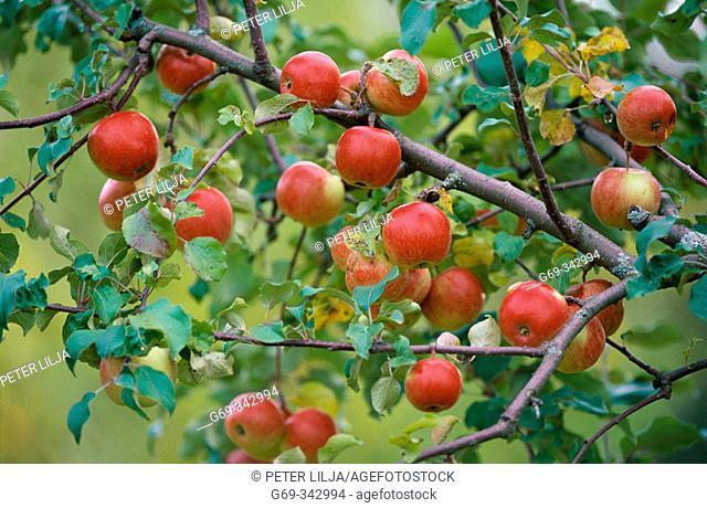 Apples growing on tree. Myckle, Västerbotten, Sweden
