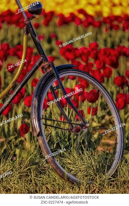Tulips and Bicycle - Close view of the front of an Old Ranger bicycle surrounded by hundreds of beautiful yellow and red tulips in the farm during the golden...