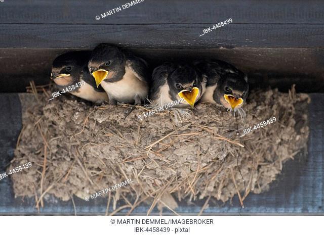 Barn Swallows (Hirundo rustica), young bird in nest, Mecklenburg-Western Pomerania, Germany