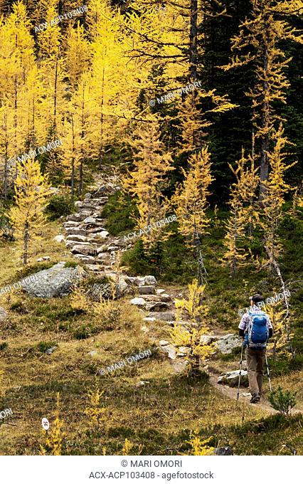 A hiker climbs up the stairs surrounded by golden Larches in Yoho National Park. Model release signed