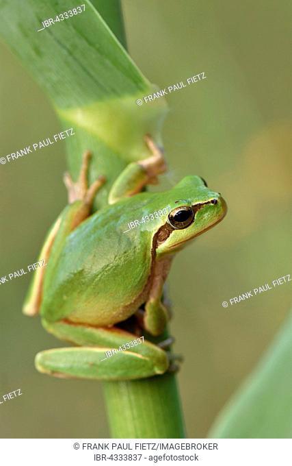 Full-grown Mediterranean Tree Frog (Hyla meridionalis) on reed, Alentejo, Portugal