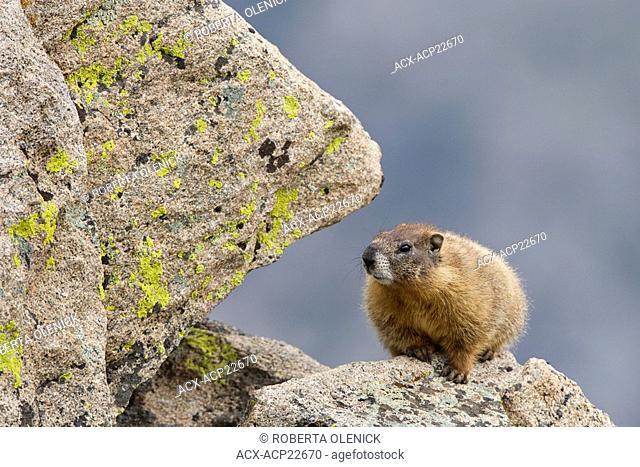 Yellow-bellied marmot Marmota flaviventris, Rocky Mountain National Park, Colorado, USA