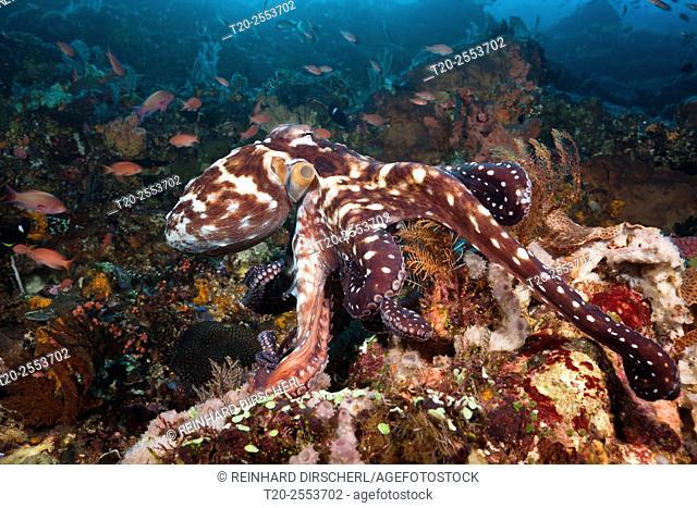 Day Octopus, Octopus cyanea, Komodo National Park, Indonesia