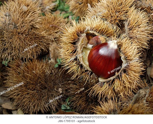 Chestnuts, edible nuts, sweet chestnut Castanea sativa  Spain