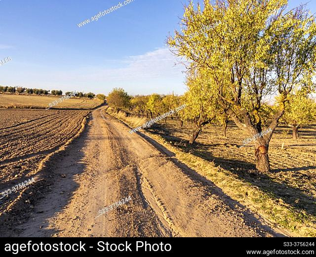 Almond trees and olive trees on the Wolve road in fall time. Pinto. Madrid. Spain. Europe