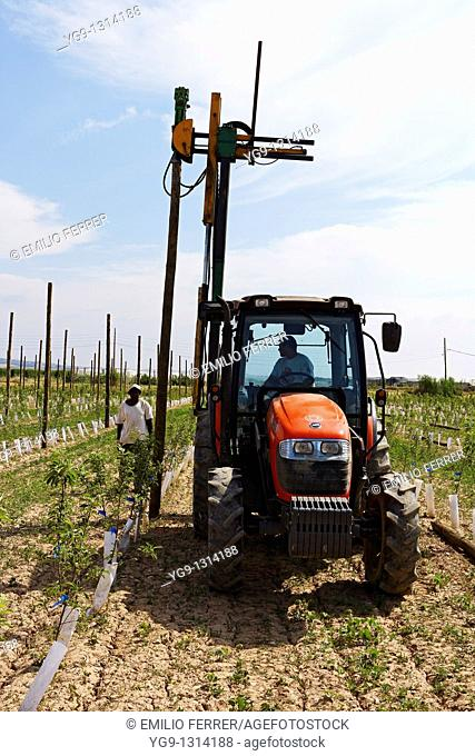 Tractor with stick machine working on a field  LLeida  Spain