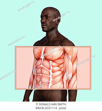 Chest and abdominal muscles in man