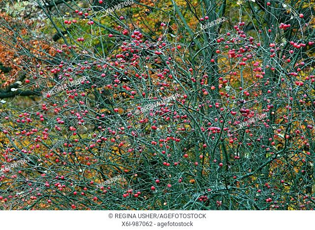 Crab Apple Malus sylvestris, ripened fruits in autumn, Germany