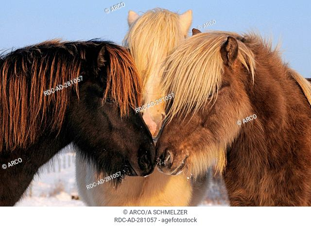 Icelandic Horses, yearlings, young stallions