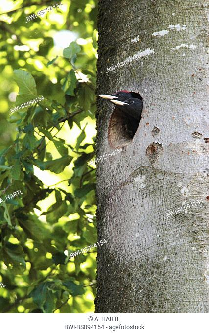 black woodpecker (Dryocopus martius), juveniles looking out of tree hole, Germany, Bavaria