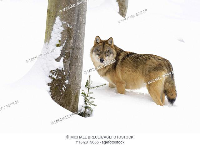 European Wolf, Canis lupus, Bavarian Forest National Park, Germany, Europe