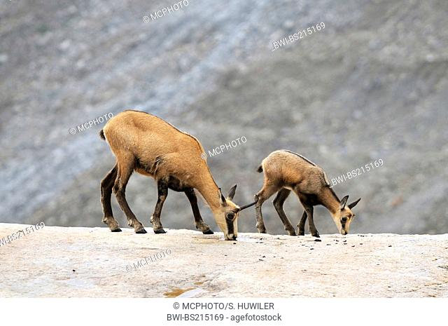 chamois (Rupicapra rupicapra), dam and fawn licking rock, Alps