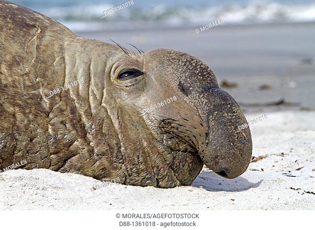 Falkland Islands , Sea LIon island , Southern Elephant Seal  Mirounga leonina