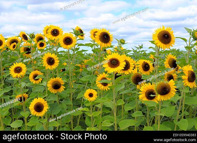 Sonnenblumenfeld Sonnenblume (Helianthus annuus)