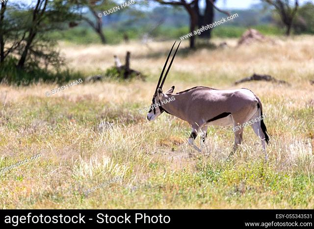 The Oryx family stands in the pasture surrounded by green grass and shrubs