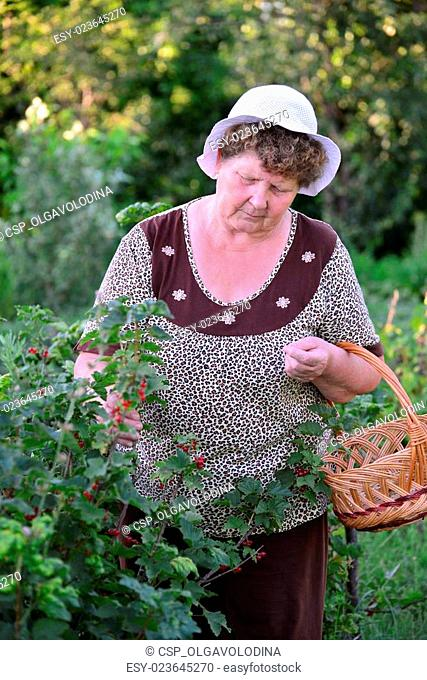 elderly Woman reaps a crop of red currant in the garden