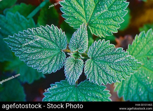 Common Nettle, Urtica dioica, Urticaceae, leaves, hoar frost, plant, Canton of Zurich, Switzerland