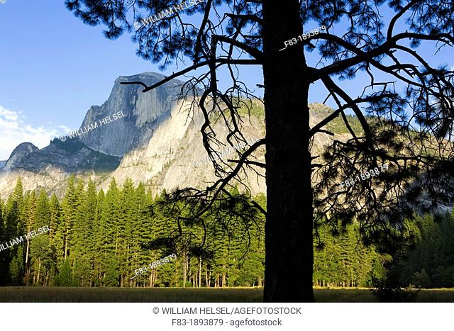 North America, USA, California, Sierra Nevada Mountains, Yosemite National Park, Half Dome, August, view from Yosemite valley floor, pine tree in foreground