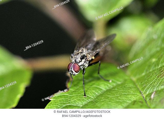 Fly (Sarcophaga sp., fam. Sarcophagidae). Osseja, Languedoc-Roussillon, Pyrenees Orientales, France