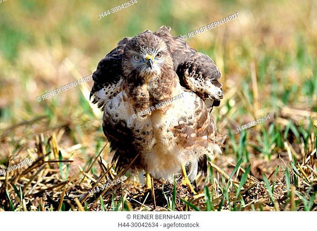 Buzzard, buzzards, Buteo buteo, local bird, pinnate robbers, griffins, birds of prey, hawk-like, young buzzard, common buzzard, bird of prey, animals, birds