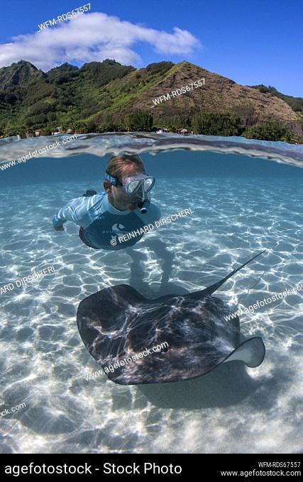Snorkeling with Pink Whipray in Lagoon, Pateobatis fai, Moorea, French Polynesia