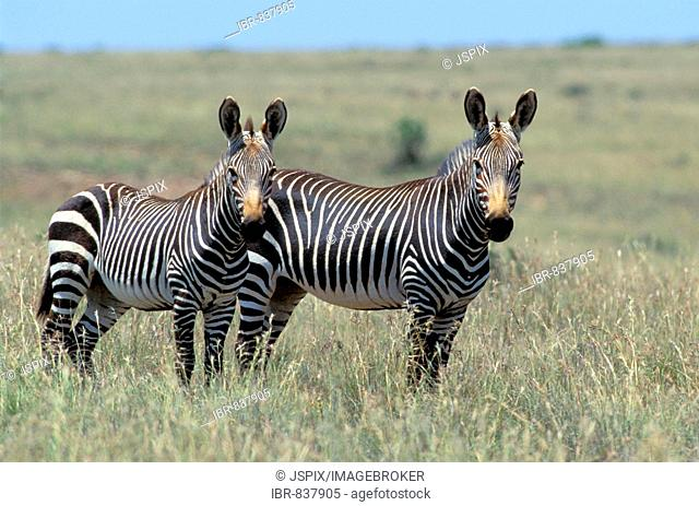 Mountain Zebras (Equus zebra), adult, pair standing in the grass, Mountain Zebra National Park, South Africa