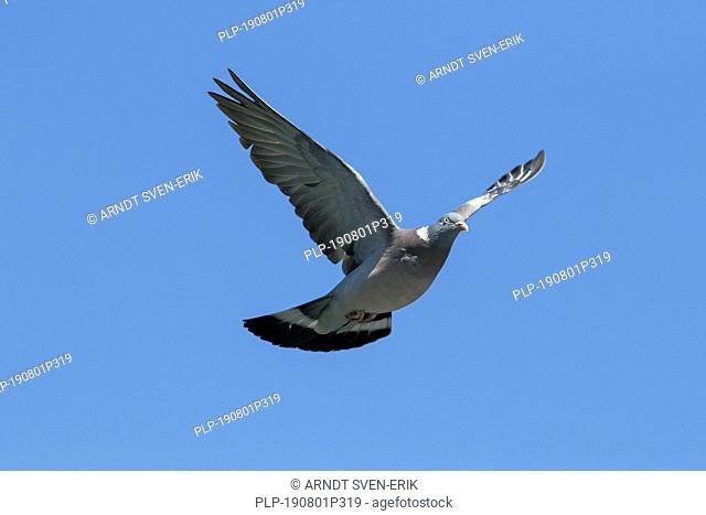 Common wood pigeon (Columba palumbus) in flight against blue sky