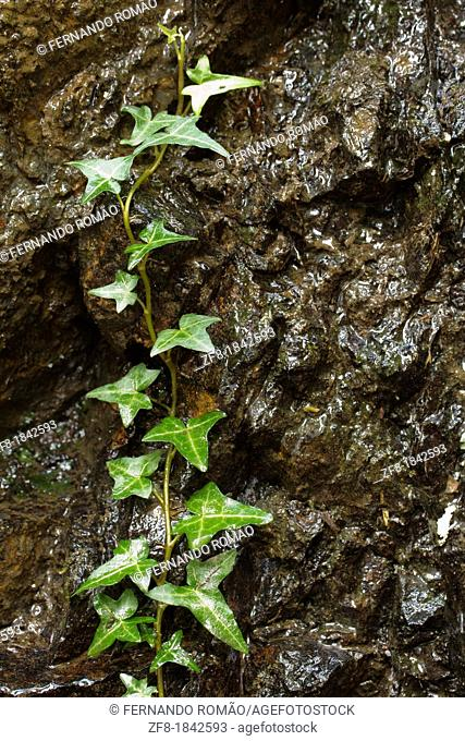 Ivy on wall at Lousã Mountain, Portugal
